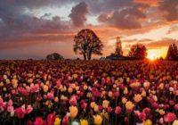 Цветы в Нидерландах